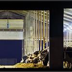 Koeienstal/Cowbarn