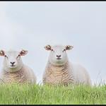 Schaap/sheep