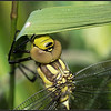 Glassnijder/Hairy Dragonfly