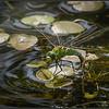 Grote keizerlibel/Emperor Dragonfly