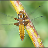 Platbuik libel/Flat belly dragonfly