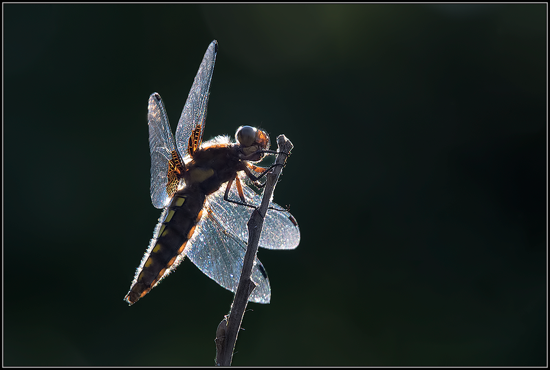 Platbuik libel/Flat belly dragonfly