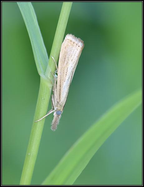 Blauwooggrasmot/Straw grass veneer