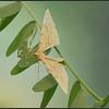 Gele Agaatspanner/ Barred Straw