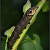 Groot avondrood rups/ Elephant Hawk Moth Caterpillar