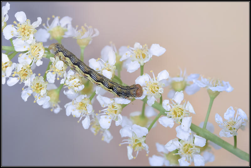 Grote wintervlinder/Mottled Umber