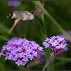Kolibrievlinder/Humming-bird Hawk Moth
