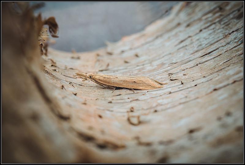 Liesgrassnuitmot/Donacaula forficella