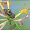 Meldevlinder/Orache Moth