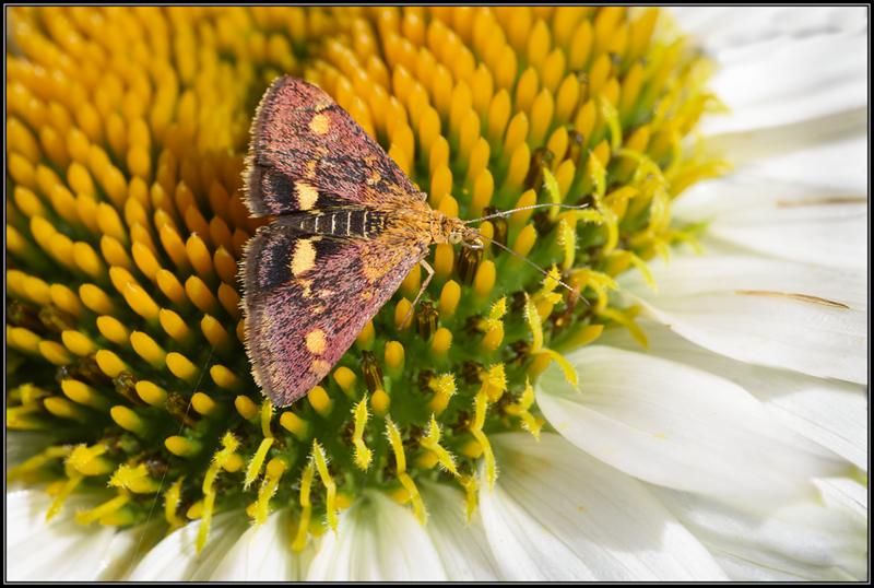 Muntvlinder/Pyrausta aurata