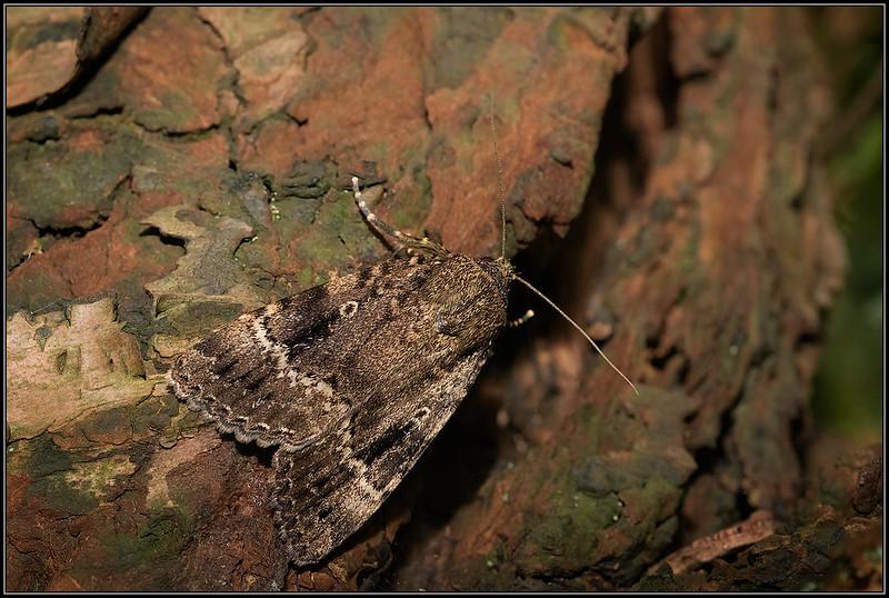 Piramidevlinder/Copper Underwing