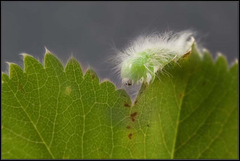 Schaapje/Miller moth