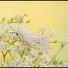Witte tijger/White Ermine