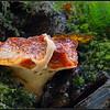 Biefstukzwam/Beefsteak fungus