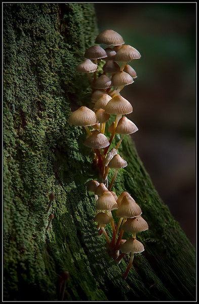 Fraaisteelmycena/clustered bonnet