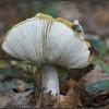 Geelwitte Russula/Common Yellow Russula