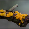 Gele Trilzwam/Golden jelly fungus