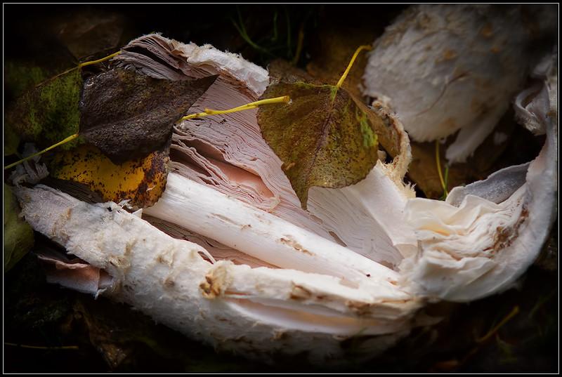 Geschubde inktzwam/Shaggy Mane mushroom
