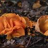 Grote oranje bekerzwam/Orange Peel Fungus
