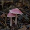 Heksenschermpje/Rosy bonnet