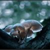 Porseleinzwam/Porcelain fungus