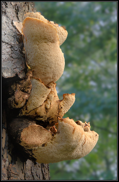 Zadelzwam/Dryad's saddle