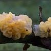Gele Trilzwam/Golden jelly fungus