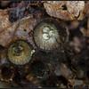 Gestreept nestzwammetje/ Fluted Bird's Nest