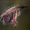 Rode treurbeuk/Weeping Purple Beech