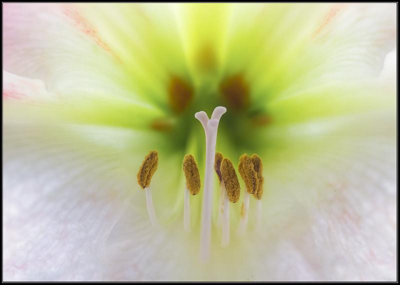 Amaryllis/Amaryllis