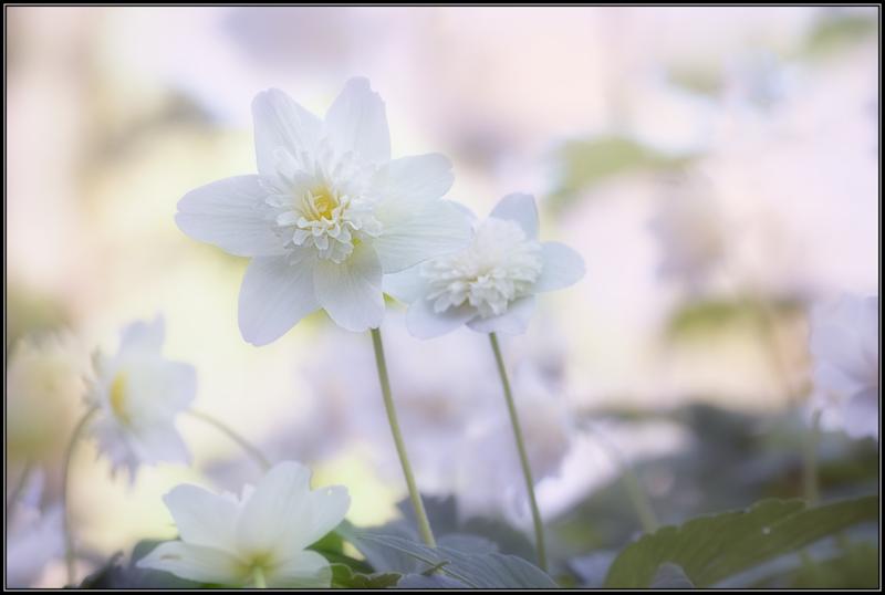 Dubbele bosanemoon/Wood Anemone