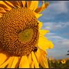 Zonnebloem/Sunflower