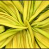 Zonnebloemknop/Sunflower bud
