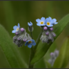 Bos-vergeet-me-nietje/Wood -Forget-me-not