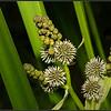 Grote egelskop/Branched Bur Reed