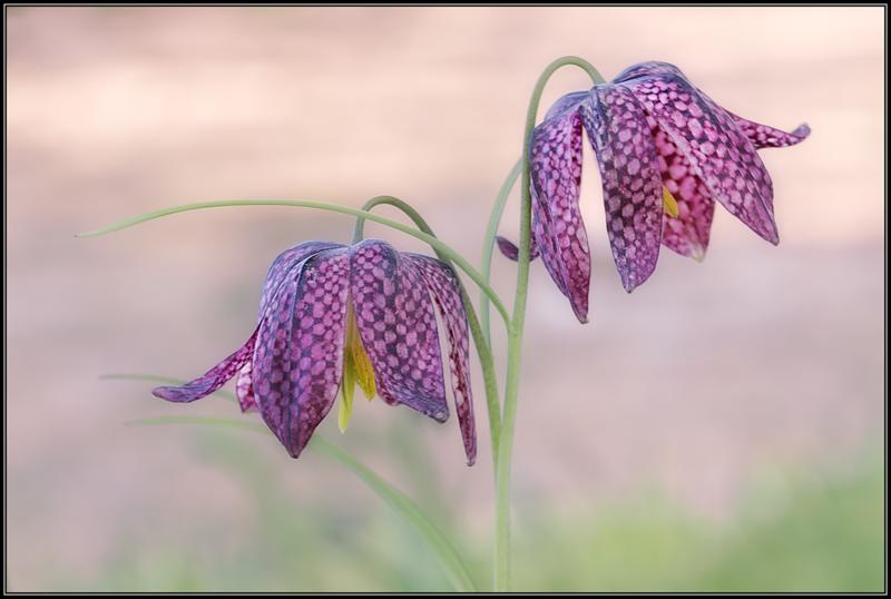 Kievitsbloem/Guinea Hen Flower