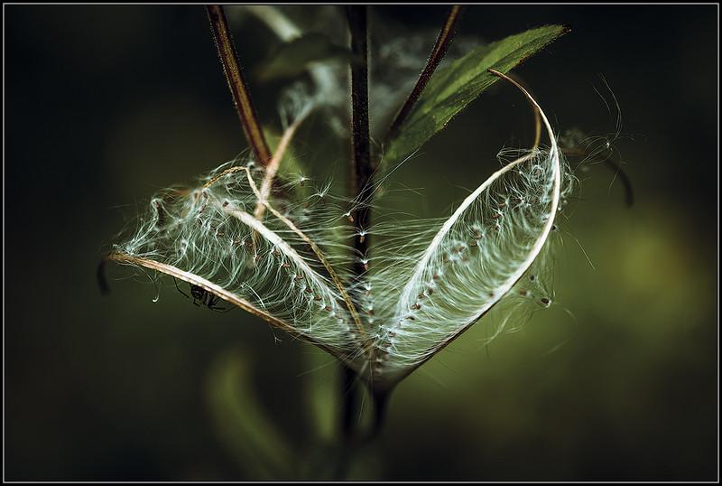 Viltige basterdwederik/Hoary Willowherb