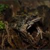 Bruine kikker/European common frog