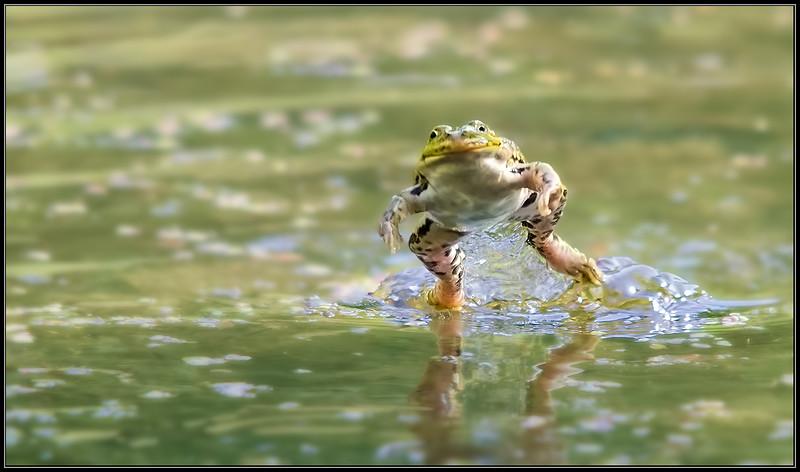 Groene kikker/Edible frog