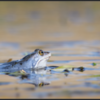 Heikikker/Moor Frog