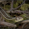 Zandhagedis/Sand Lizard