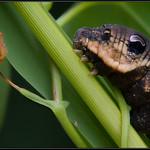 Rups groot avondrood/ Elephant Hawk Moth Caterpillar
