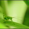Struiksprinkhaan/Speckled Bush-cricket