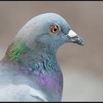 Stadsduif/Common pigeon