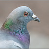 Stadsduif/Common pigeon