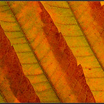 Fluweelboom/Staghorn Sumac