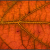 Eikenbladhortensia/Oak-leaved hydrangea