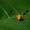 Akkerdistelboorvlieg/Xyphosia miliaria