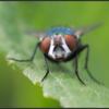 Blauwe vleesvlieg/Bluebottle fly