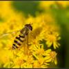Bosbandzweefvlieg/Syrphus torvus